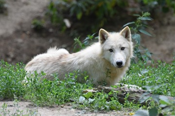Lying white Arctic Wolf looking forward