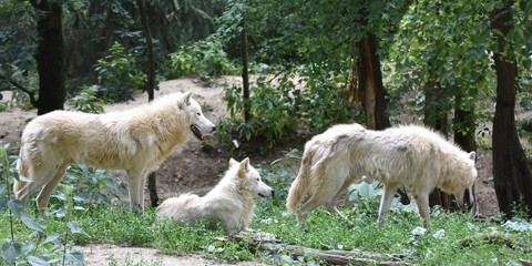 Three white arctic wolves in the forest