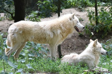 Two white arctic wolves in the forest