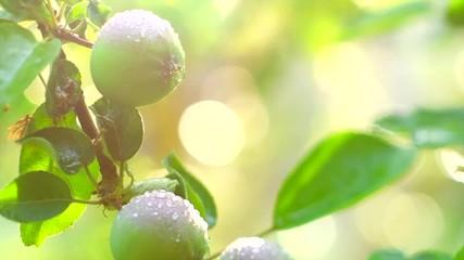 Fotoväggar - Apple tree. Organic apples hanging on branch of apple tree in a garden with rain drops. Watering garden. Slow motion 4K UHD video 3840x2160