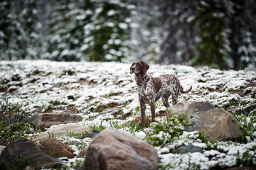 a beautiful hunting dog in the mountains