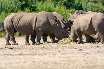 Group of big adult African black rhinoceros eating grass in safari park