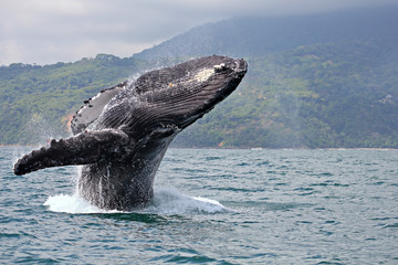 "Humpback whale breaching in ""Marino Ballena National Park"", Costa Rica"