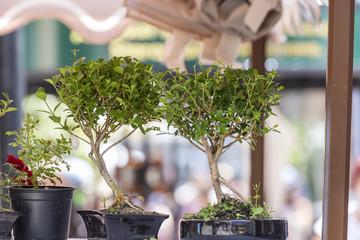 Couple of bonsai trees