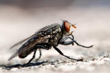 House fly macro closeup