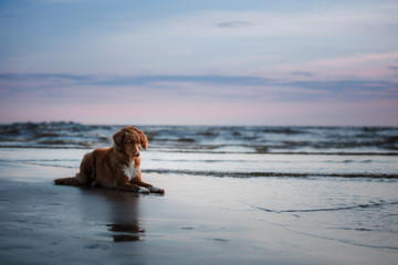 dog lying on the beach, by the sea. Pet on vacation. Nova Scotia Duck Tolling Retriever