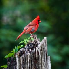 Cardinal  on a log