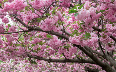 Pink Cherry Blossom Canopy