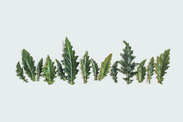 A row of damp green leaves of the Thistle. Copy space, top view, flat lay. Toned.