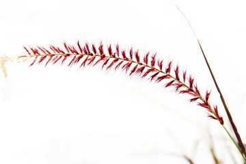 flower of grass or wheat isolated on white background
