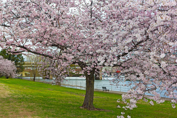 Blossoming cherry tree along the Potomac River in East Potomac Park. Bench under the tree facing the river in Washington DC, USA.