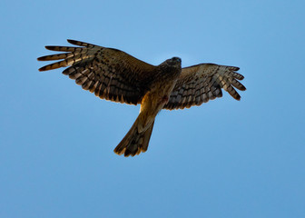 Extremely close view of a female Northern harrier in beautiful light, seen in the wild near the San Francisco Bay