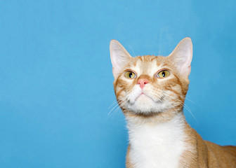 Close up portrait of a cute orange and white tabby cat looking up. Blue background with copy space.