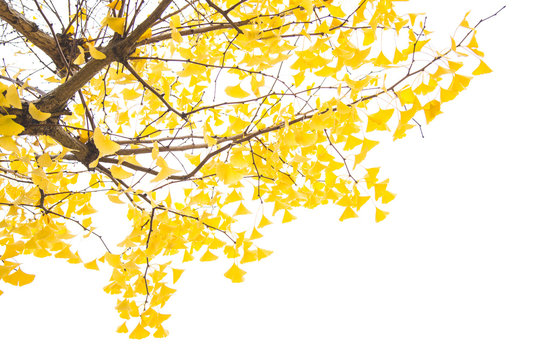 Ginkgo tree branch with yellow leaves over white background