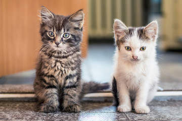 The two kittens sit on the floor in the room. White spotted and gray striped kittens are one by one. Kittens are friends_