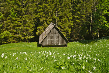 Blooming meadow of white narcissus in Slovenia