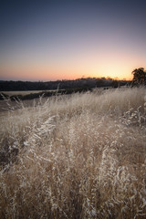 Wild oats in the wind at sunset.