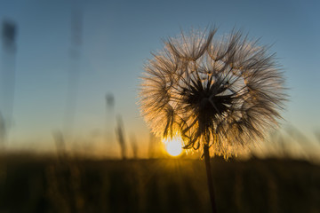 Sunset in the sun and backlit dandelion