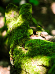The green moss on the fallen tree. Moss in sunshine. Green background.