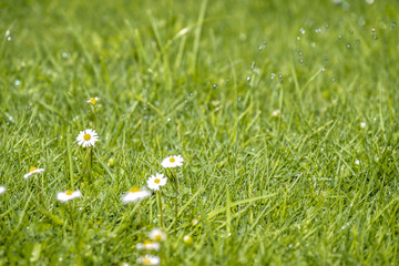 Blurred Green Summer background With Daisies flowers and green grass and water drops flying