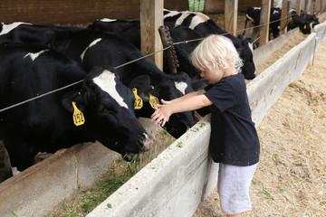 Little Child Feeding Cows in Food Trough on Dairy Farm in America