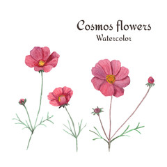 Cosmos flowers. Watercolor illustration, isolated on white background.