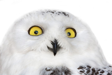 Fotoväggar - polar owl isolated portrait