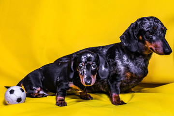 Puppy Dachshund on a yellow background