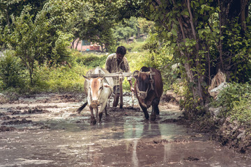 Indian farmer ploughing his fields