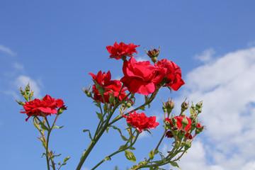 Rosen, Stockrosen, Himmel