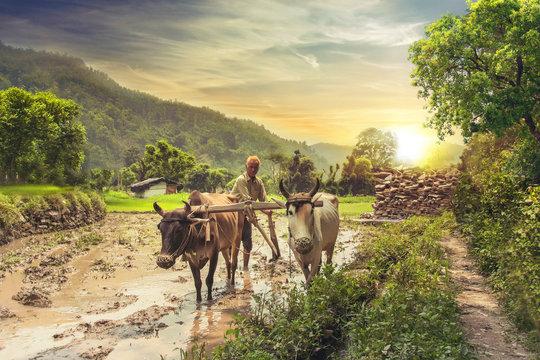 Farmer ploughing rice field at sunrise