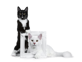 Duo of black with white and solid white Maine Coon cat kitten sitting beside and laying through a white photo frame, looking to lens isolated on white background