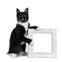 Black with white Maine Coon cat kitten sitting beside and holding a white photo frame, looking to lens isolated on white background