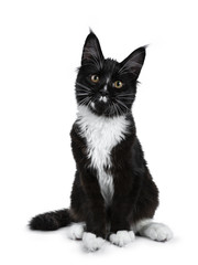 Black with white Maine Coon cat kitten sitting up looking at camera isolated on white background
