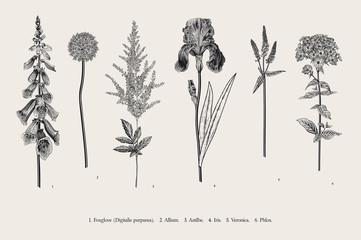 Set garden flowers. Classical botanical illustration. Foxglove, Allium, Astilbe, Iris, Veronica, Phlox. Black and white