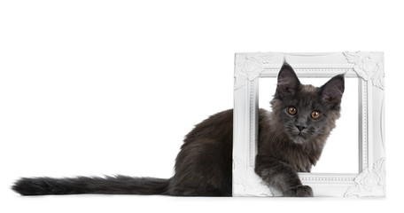 Very cute solid blue Maine Coon cat kitten laying down side ways with paw and head sticking through a white picture frame, looking at camera isolated on white background