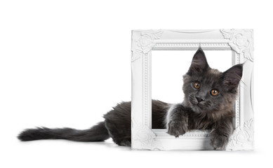 Very cute solid blue Maine Coon cat kitten laying down side ways with paws and head sticking through a white picture frame, looking funny at camera isolated on white background