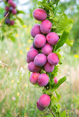 Colorful ripe lilac plum