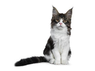 Beautiful black brown tabby with white Maine Coon cat kitten sitting straight with tail beside body, looking straight in lens isolated on white background