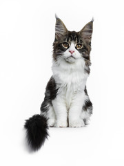 Beautiful black brown tabby with white Maine Coon cat kitten sitting straight with tail next to body, looking straight in lens isolated on white background