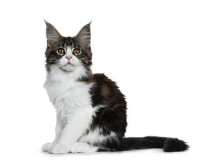 Beautiful black brown tabby with white Maine Coon cat kitten sitting side ways with tail behind body, looking straight in lens isolated on white background