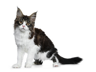 Beautiful black brown tabby with white Maine Coon cat kitten standing side ways, looking straight in lens isolated on white background
