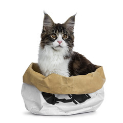 Beautiful black brown tabby with white Maine Coon cat kitten sitting in paper bag, looking to the side isolated on white background