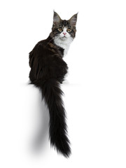 Beautiful black brown tabby with white Maine Coon cat kitten backwards with tail haging down over edge, looking over shoulder straight in lens isolated on white background
