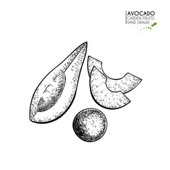 Hand drawn sliced avocado. Vector engraved illustration. Natural orgainc vegetable. Food healthy ingredient. For cooking, cosmetic package design, medicinal herb, treating, healt care.