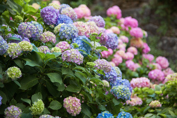 Hydrangea is pink, blue, lilac, violet, purple flowers are blooming in spring and summer at sunset in town garden.