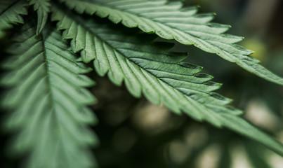 leaves of cannabis marijuana plant Wall mural