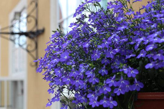 Blue Lobelia flower in the city