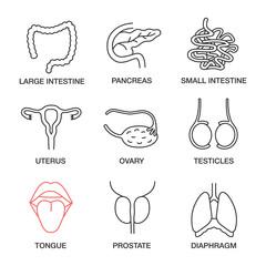 Internal organs linear icons set