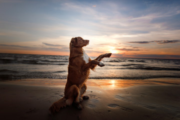 the dog gives his paw. A pet on the sea, a vacation and a healthy lifestyle. Nova Scotia Duck Tolling Retriever in nature